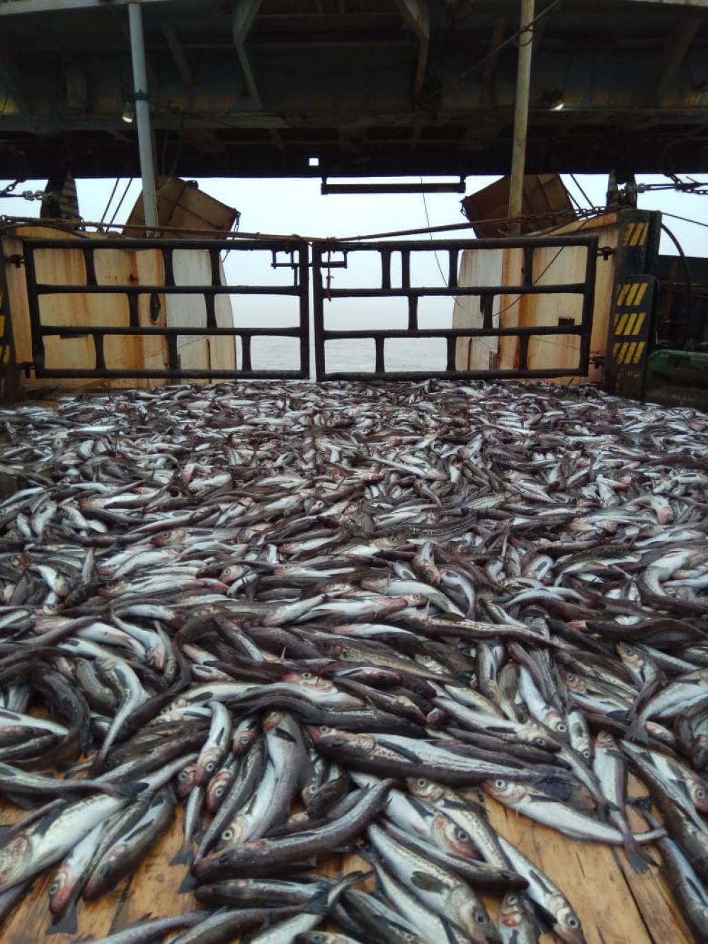 Рыбаки стали беречь минтай