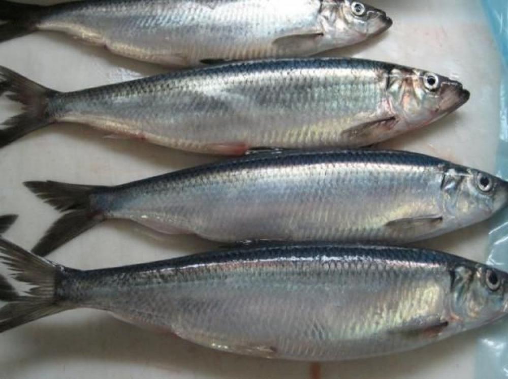 Рыбаки смогут добыть в сезон Б более 300 тыс. тонн сельди
